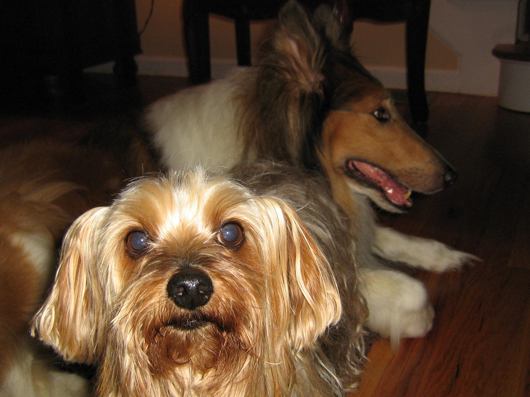 Buddy and his Yorkie Friends 004.jpg